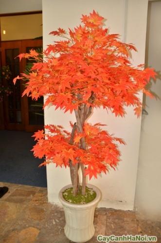 Cây phong lá đỏ trồng chậu làm cảnh