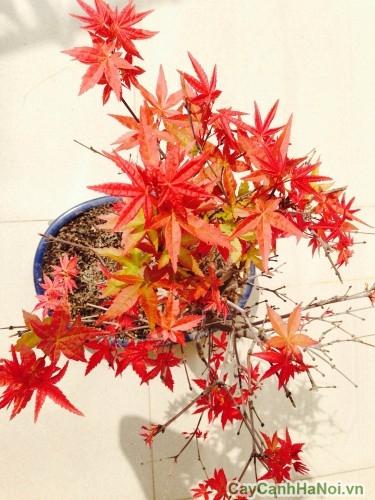 Lá cây phong đổi sang màu cam rồi đỏ vào mùa thu
