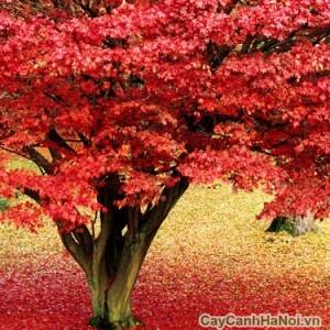 Cây phong lá đỏ với màu lá bắt mắt