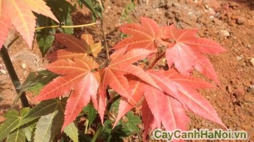 Phân phối cây phong lá đỏ ở Hà Nội