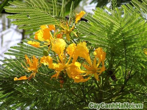 Hoa phượng vàng
