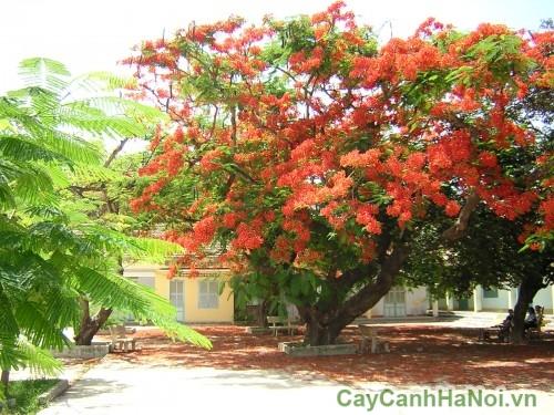 Cây phượng vĩ có tán rộng, thích hợp làm cây cảnh bóng mát