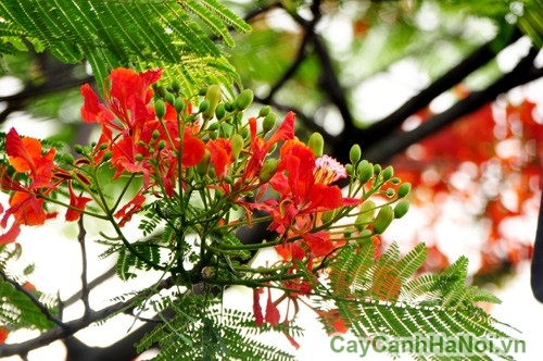 Chi tiết hoa và lá phượng vĩ