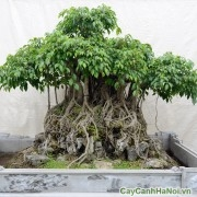 Cây sanh bonsai
