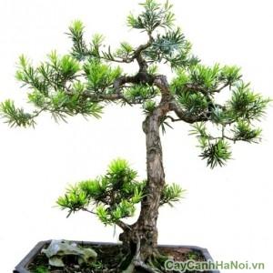 Cây tùng la hán thường được tạo dáng bonsai