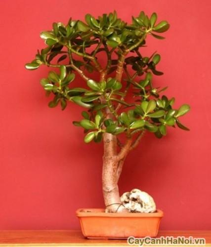 Cây ngọc bích có thể trồng thành bonsai