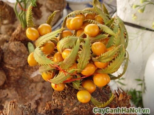 Chùm quả của cây vạn tuế