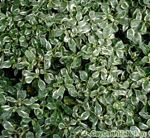 Cây cẩm thạch có thể dùng trồng xem lẫn với các loại cây cảnh khác