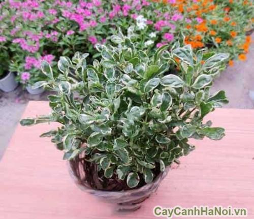 Cây cẩm thạch có thể trồng làm cảnh