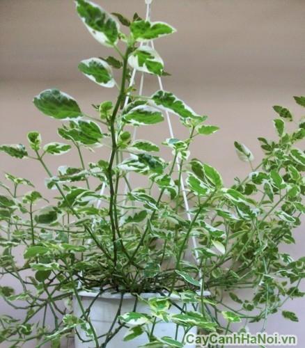 Có thể trồng cây cẩm thạch trong chậu treo