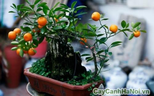 Quất là loại cây cảnh tết được ưa chuộng