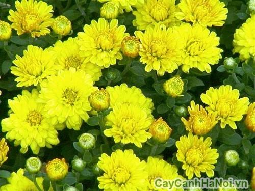 Hoa cúc - Cây cảnh tết tượng trưng