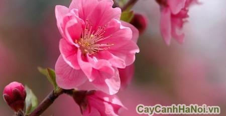 Hoa đào - Loại cây cảnh Tết điển hình