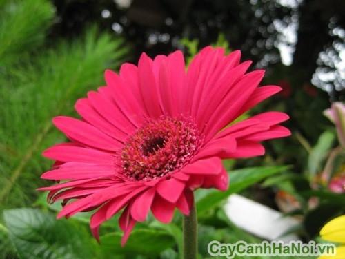 Có thể trồng hoa đồng tiền quanh năm