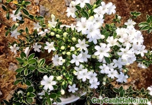 Hoa bạch tuyết mai
