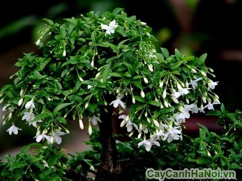 Mai chiếu thủy với những chùm hoa trắng xinh