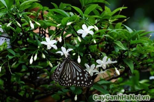 Hoa mai chiếu thủy luôn mọc hướng xuống mặt đất