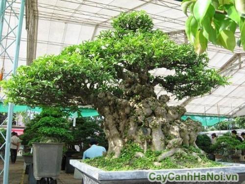 Mai chiếu thủy là nguồn nguyên liệu bonsai tuyệt vời